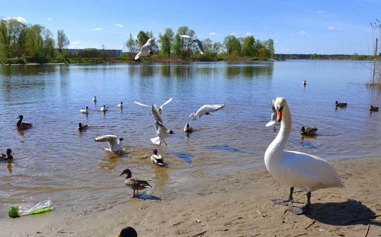 9. maija priekšpusdienā atrodos Buļļupes krastos Daugavgrīvā, kur mani aplenc pat veselu 4 sugu ūdensputni vienlaicīgi.