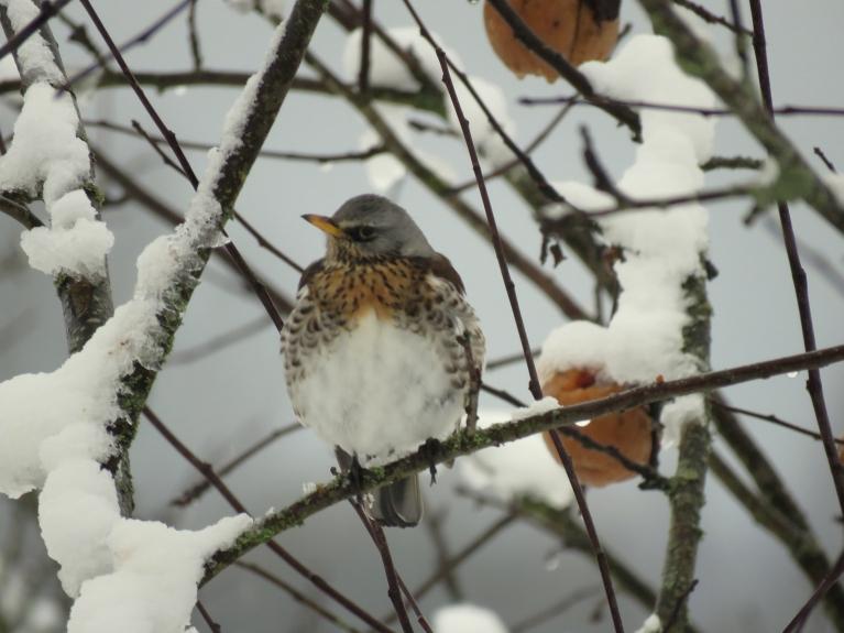 1, februāris. Ik pa laikam piesnieg svaigs sniedziņš, Pelēkie strazdi turpina apciemot rudenī nenovāktās ābeles.