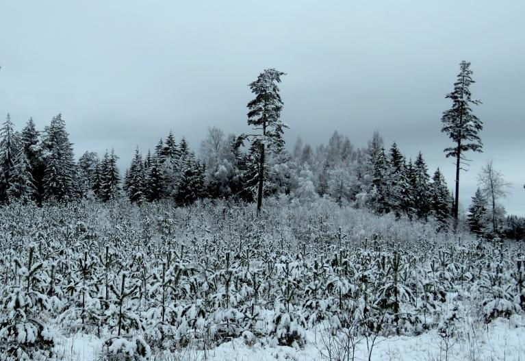 31. janvāris. Sniega segas biezums ap 10 cm.