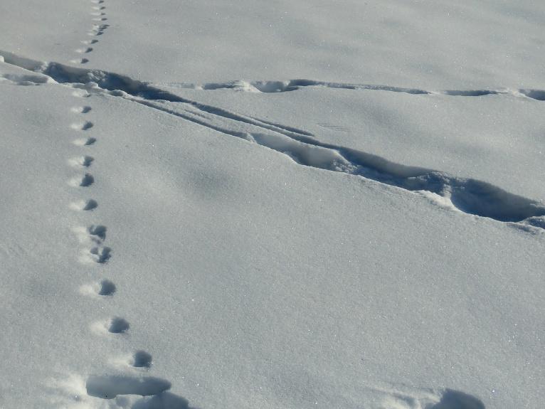 Pēdas piemājas tīrumiņā norāda par aktīvu kustību.