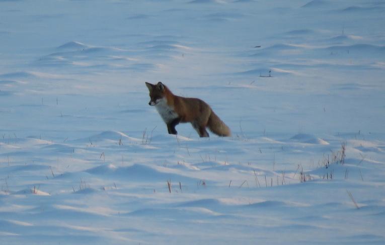 Neilgi pirms saulrieta kūmiņš izgājis medībās.