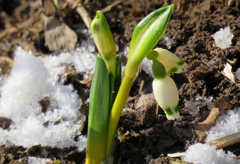 Pie pašiem mājas pamatiem piesaulē izplaukuši pirmie sniegpulksteņi.