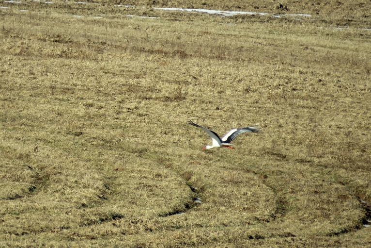 24. marta pēcpusdiena, redzu lidojam pirmo šī gada stārķi.