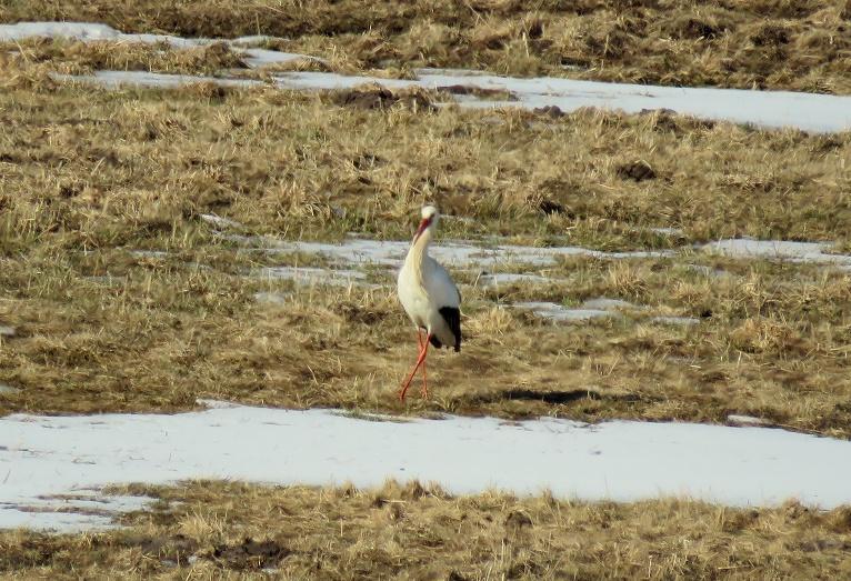 Stārķis nolaižas ielejas pļavās, bet te to sagaida ledus un sniega paliekas.