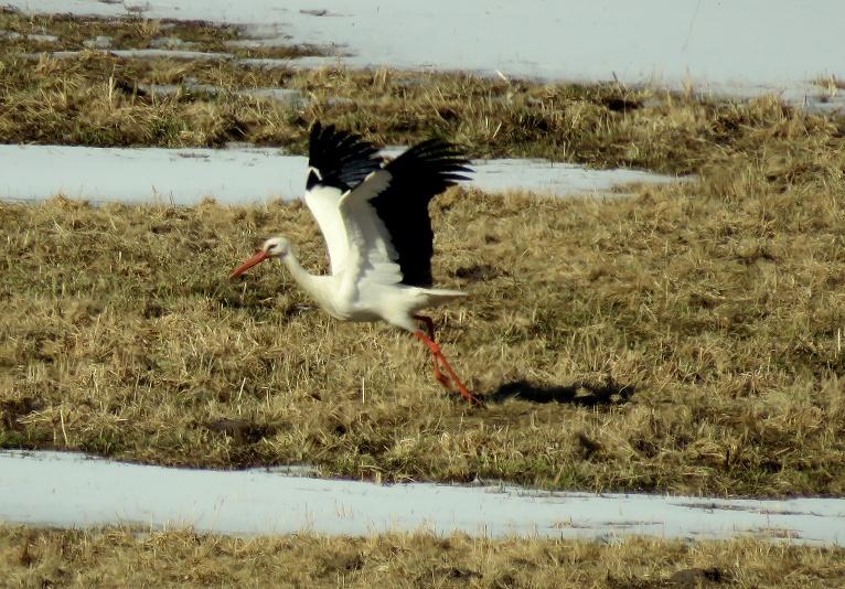Labu laiku pastaigājis, stārķis ceļas spārnos un lido prom. Pēc laika manu arī pirmo gārni pārlidojam.