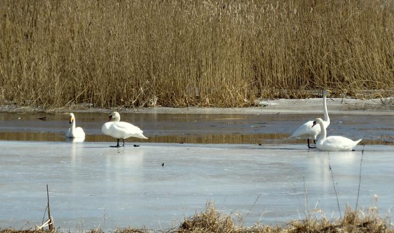 Vietā, kur upīte ietek dīķī, gulbji atraduši brīvu ūdens pleķīti, pie kura atpūsties.