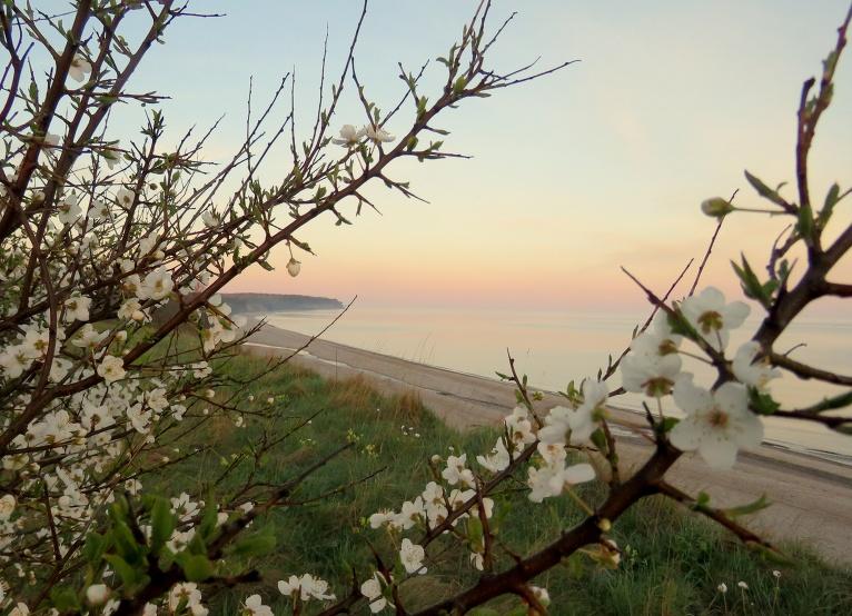 8. maija saullēkts ar nelielu migliņu,  dienā jaku novelku tikai uz neilgu brīdi, jo pūš vēss Z puses vējelis. Kāpās tikai nupat saplaukušas aličas.