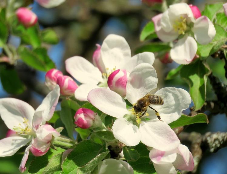 10. maijs, Vidzemē zied ābeles.