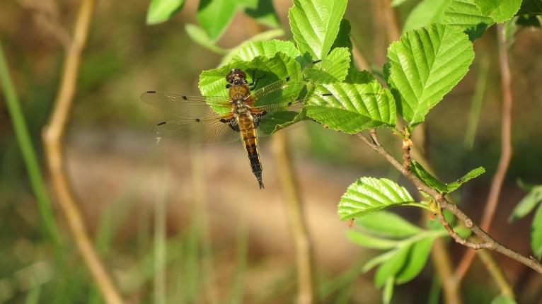 Jau Kolkā pamanu desmitiem un simtiem spāru, kas spieto apkārt gandrīz kā bites