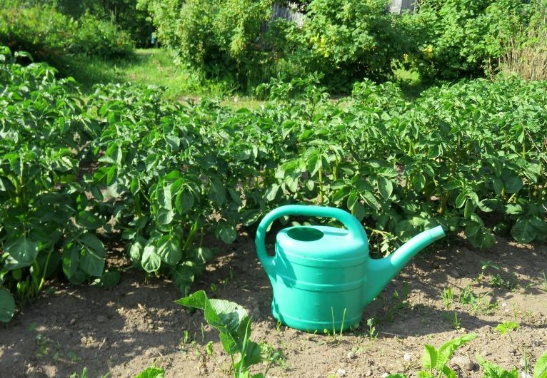 Mazdārziņu īpašniekiem vakari paiet laistīšanas darbos. Mani 15. aprīļa kartupeļi tūlīt ziedēs.