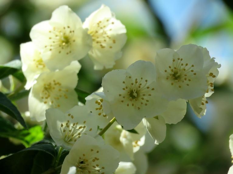 Pilnos ziedos ir jasmīna krūms.