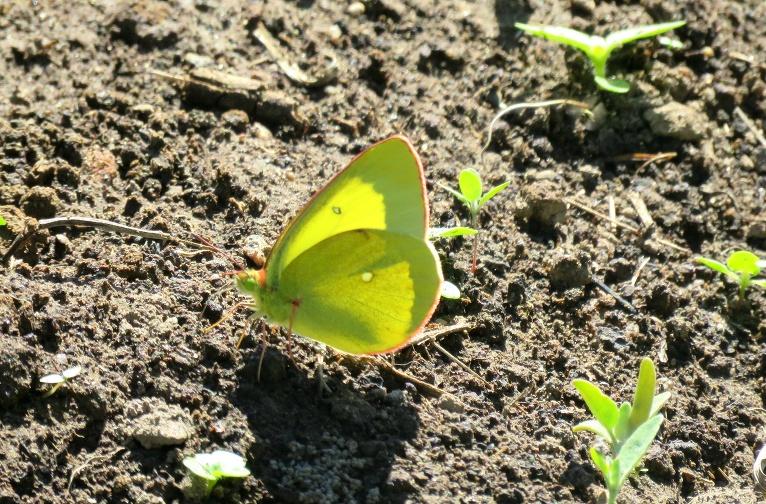 Šodien dārzā jauns viesis- purva dzeltenais.