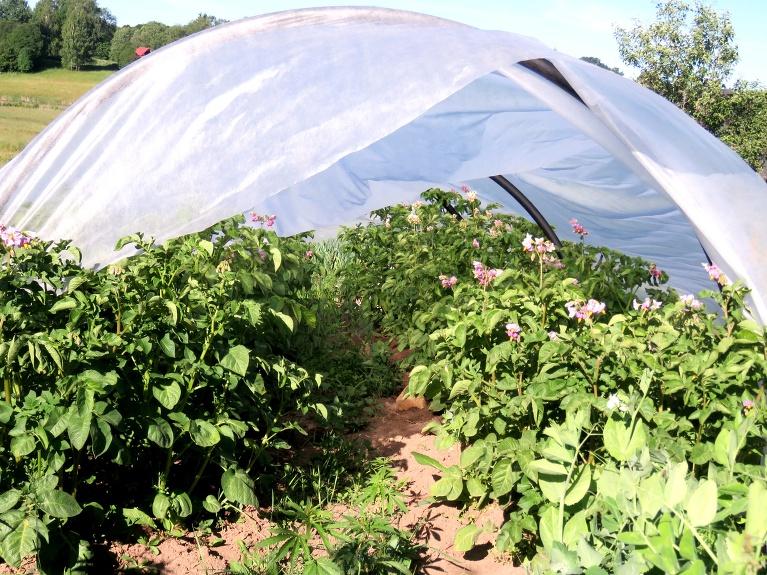 Otra  nodarbe- augu sargāšana no salnām.