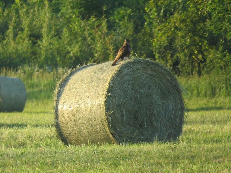 Rekordagri lauksaimnieki jau ir sagādājuši sienu, pļavas ruļļu pilnas.
