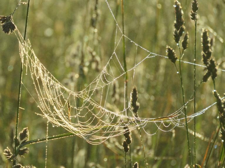 Zirnekļu tīkli rasas pilni.
