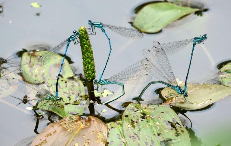 Dīķītī spāres rūpējas par pēcnācēju radīšanu.