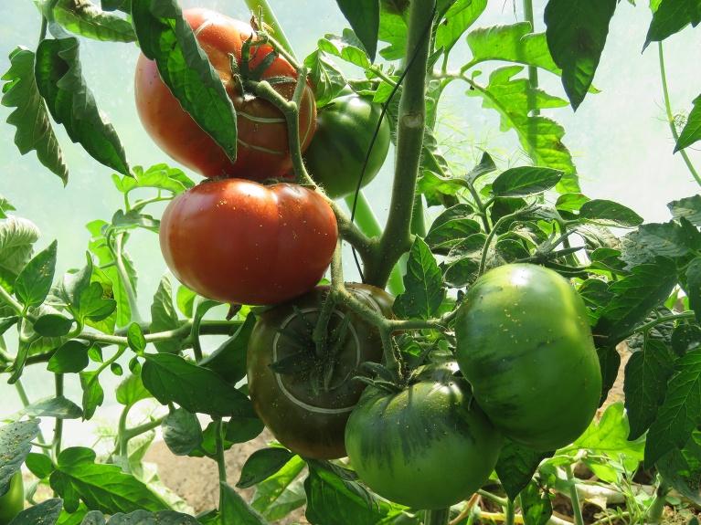 Plēves mājā pirmie sarkanie tomāti.