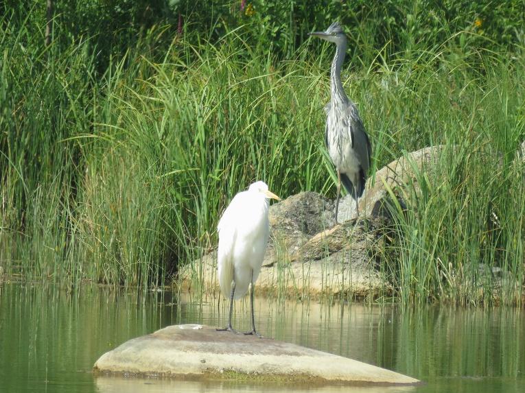 11. jūlijs- manu uzmanību piesaista paliels gārņu bars pie dīķiem (saskaitīju 11 baltos un vienu pelēko)