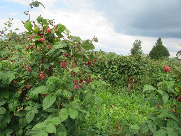 Dārzos šogad laba aveņu raža, šo dārzu saimnieks stāsta, ka sausajā laikā cītīgi tās laistījis.