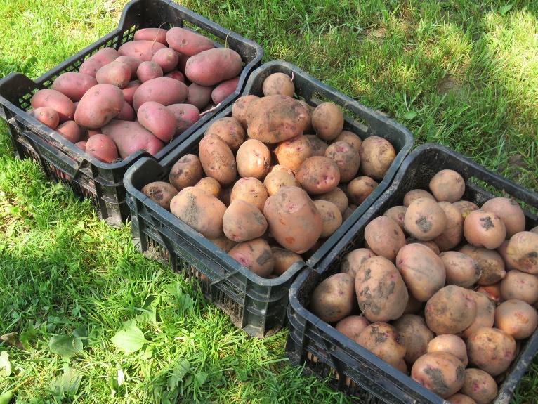 22. jūlijā novācu 15.04. stādītos kartupeļus, raža laba, īpaši labi padevusies šķirne Laura.