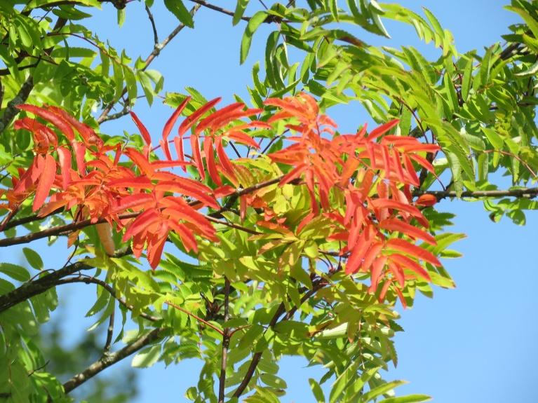 Pīlādzim pie sētas jau sāk krāsoties lapas,ceru,ka tas tikai sausuma, ne rudens tuvuma dēļ.