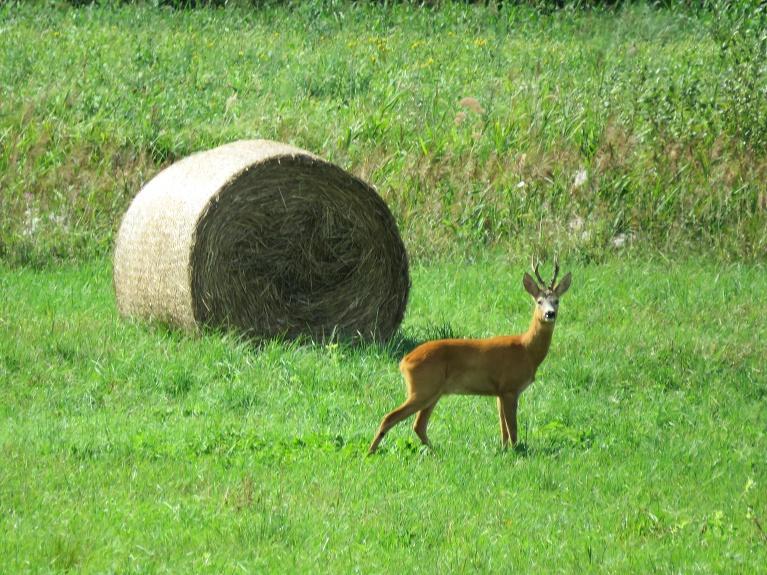Pļavās lietiņš ataudzējis attālu, labi gan mājas, gan meža lopiņiem.