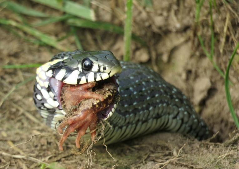 Riskēju saņemt daudzas negatīvas atsauksmes, bet nemaz tik bieži negadās redzēt, kā čūska notiesā medījumu, tāpēc atļāvos ievietot vēl vienu unikālu foto.