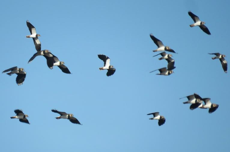 Šķiet, ka šīs ir ķīvītes, bet starp tām arī lielāki putni, bara lielumu vērtēju ap simts putniem.