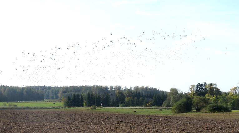 Lauki pilni lidojošu putnu baru.
