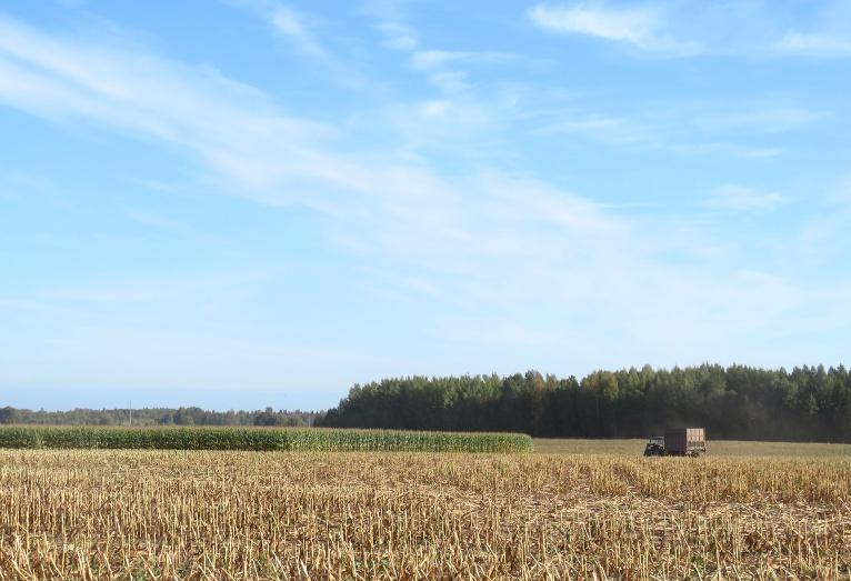 Dažos laukos vēl tiek vākta kukurūza.
