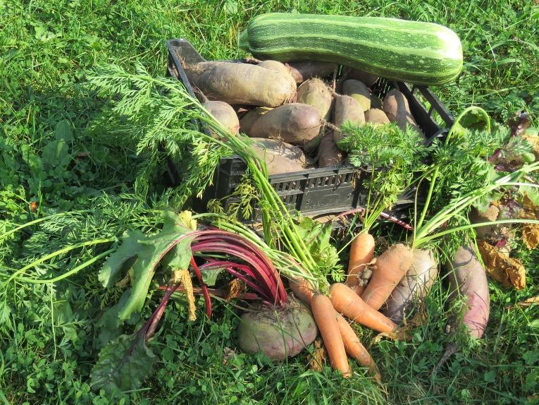 Piemājas dārzos - saknes un dārzeņi.