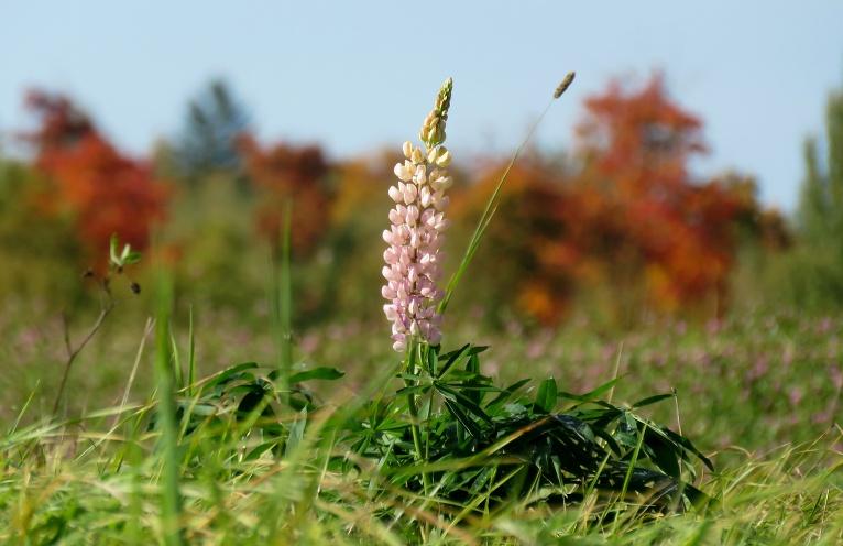 Ja fonā nebūtu krāsaino koku, varētu domāt, ka ir jūnija mēnesis, kad pļavās zied lupīnas.