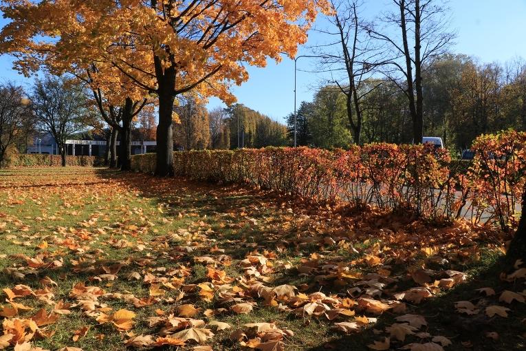 11.oktobris - tā pati kļavu rinda vēl ar lapām, bet jau dažas dienas vēlāk koki savu krāšņumu jau ir nometuši