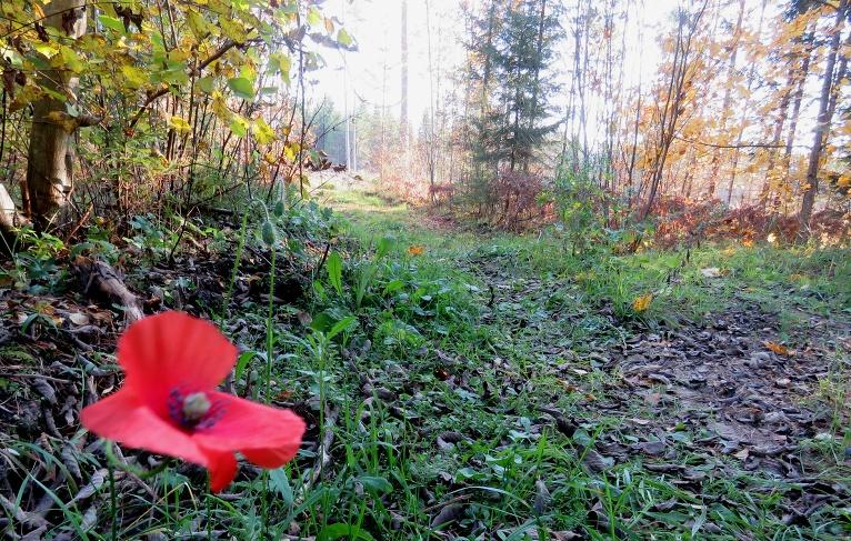 Satikšanās uz mež ceļa ar sarkano magoni.