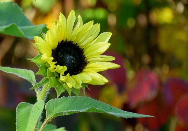 Dārzā vēl zied saulespuķes.