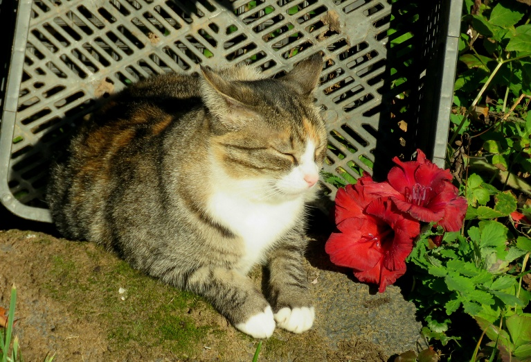 Kamēr es roku laukā gladiolas, Mīce sildās saulītē, pēdējais gladiolas zieds tiek kaķenītei.