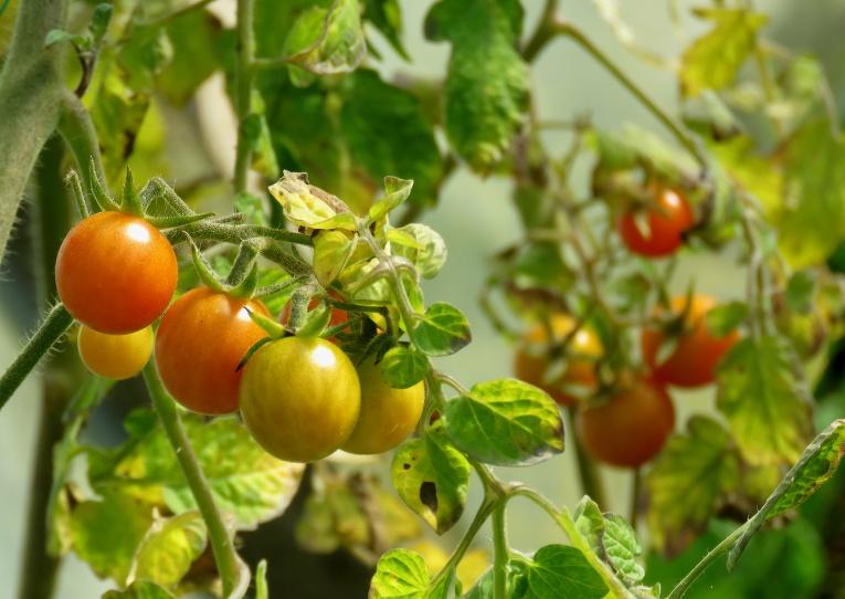 Plēves mājā vēl aug ķekaru tomātiņi, baidoties no salnām gatavākos ķekarus sanesu istabā.