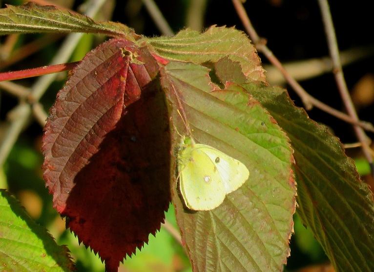 Apkārt lidinās tauriņi, tikai sārtās lapas nodod rudeni.