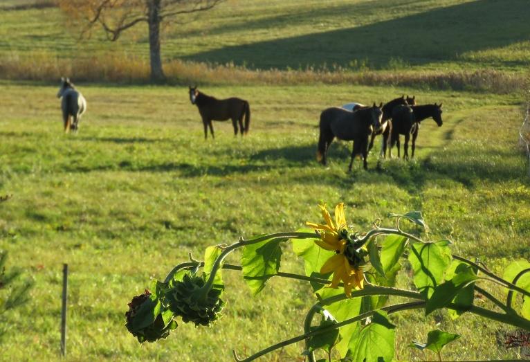 Ielejas pļavas attālā ganīties salaisti zirgi, izskatās taču pēc vasaras, vai ne? (Uz nodzeltējušo bērzu neskatīties!)