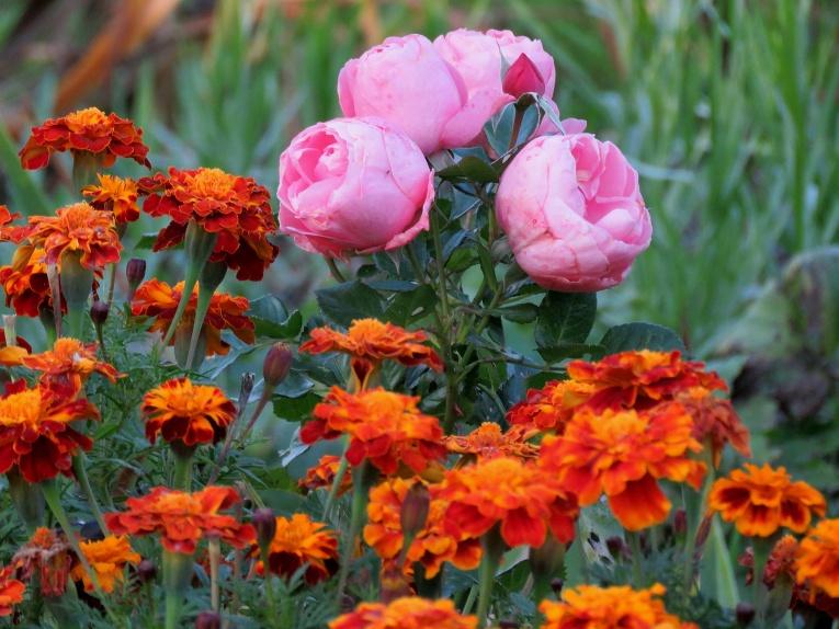 Krāšņi zied samtenes, nu vai tad tādas var raut laukā, lai stādītu tulpes?