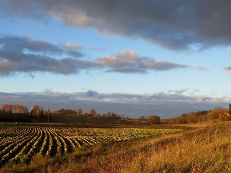 Lielsaimnieku laukos vēl daudz nenovāktas produkcijas.