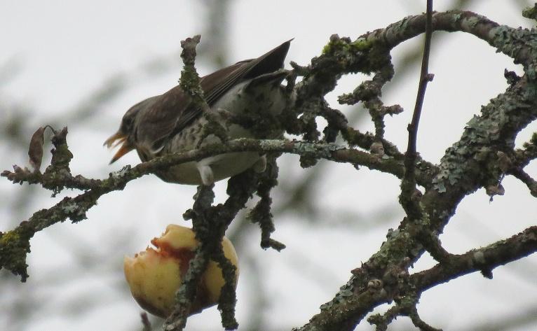 Meža strazdi notiesā pēdējos ābolus, kas palikuši kokā.
