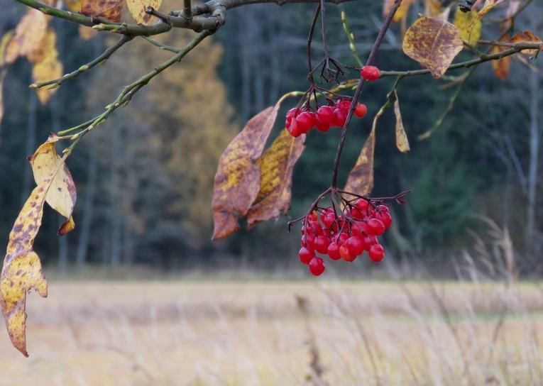 Mežmalas irbeņu krūmam ogas vēl nav noēstas, putniem pietiek citu, garšīgāku lietu, ar ko mieloties.