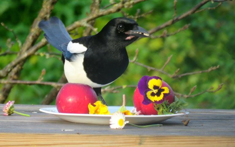 Šodien saklāju svētku galdu arī spārnotajiem draugiem,dārzā vēl atrodu ziedam mārpuķītes, prīmulas un atraitnītes. Man ir aizdomas, ka žagatas manu māksliniecisko noformējumu neprot novērtēt.