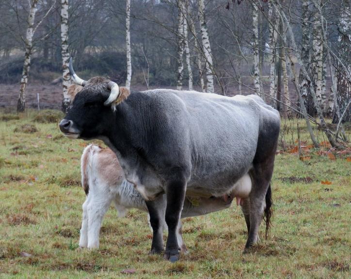 Ungāru stepes govis, gaidot ziemu, uzaudzējušas biezu vilnu.