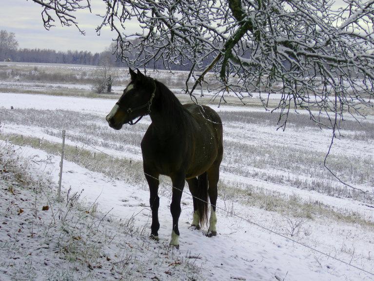 Visi pavada dienu ierastās nodarbēs. Zirgi- izloka kājas un paskraida pa aploku.