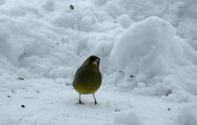 Snigšana pierimusi, zaļžubīte ieradusies pēc sēkliņām.