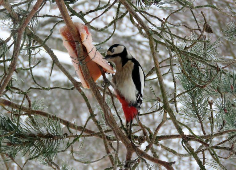 Dzenis gan neliekas traucēties, padzen no speķīša mazākos putnus un ēd pilnu muti.