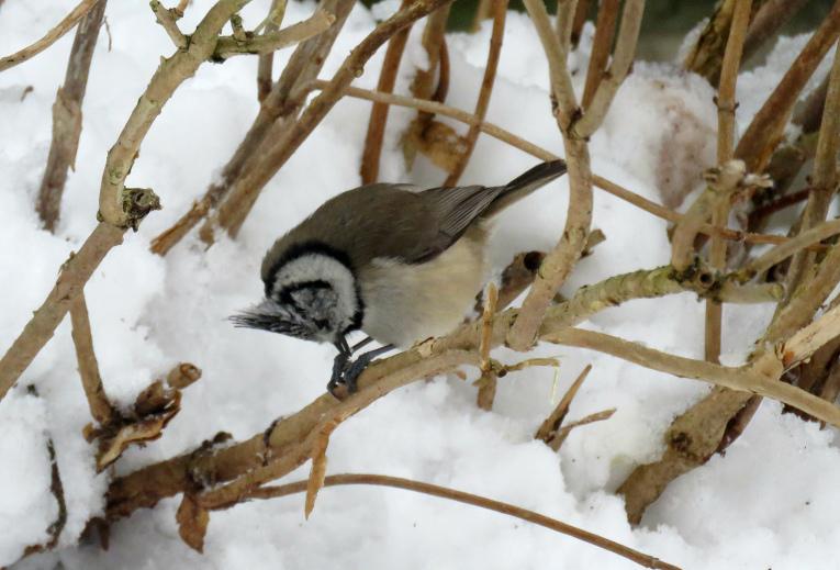 Putniņš ļoti kustīgs, gandrīz stunda paiet, kamēr izdodas mazulīti notvert foto objektīvā.