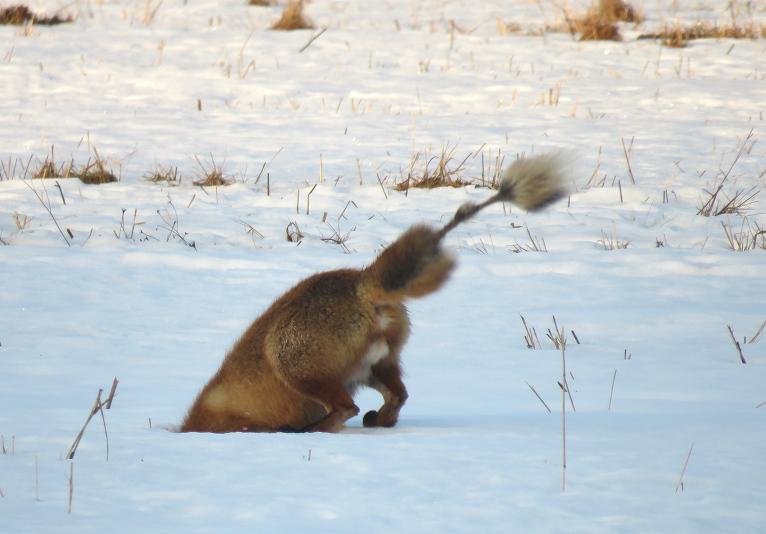Ar purnu kūmiņš ieurbjas sniegā līdz pleciem.